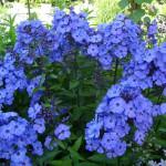 Phloх-Blue-paradise-флокс-метельчатый-Blue-paradise1