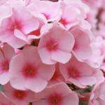 Phloх-Pink-флокс-метельчатый-Pink.