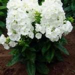 Phloх-White-флокс-метельчатый-White.