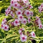Phlox paniculata «Creme de Menthe» - флокс метельчатый «Creme de Menthe»
