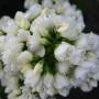 Phlox paniculata «Tiara» — флокс метельчатый «Tiara»2