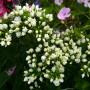 Phlox paniculata «Tiara» — флокс метельчатый «Tiara»5