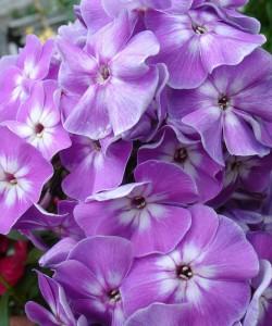 Phlox-paniculata-Katherine-флокс-метельчатый-Katherine