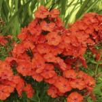 Phlox-paniculata-Orange-флокс-метельчатый-Orange.
