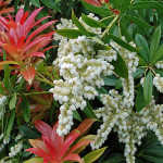 Pieris japonica Forest Flame - Пиерис японский Forest Flame2