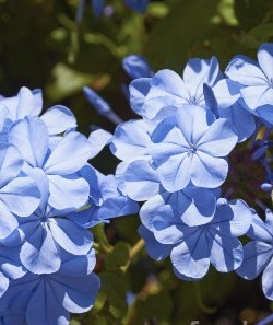 Plumbago auriculata Royal Cape