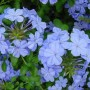Plumbago-capensis_edit