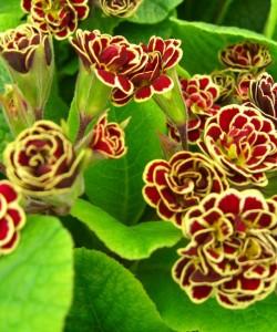 Primula-«Elizabeth-Killelay»-P.-Gold-lace-polyantha×-rube-red-double-primrose-примула-«Elizabeth-Killelay»