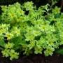 Primula-polyantha-«Francesca»-примула-«Francesca»