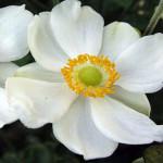 anemone-honorine-jobert