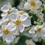 anemone-honorine-jobert2