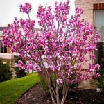 ann-magnolia-tree-1-526x698