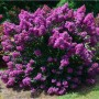 crape-myrtle-purple-magic-2