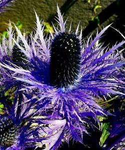 eryngium-alpinum-blue-star