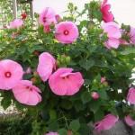 hibiscus-moscheutos-2-s