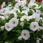 hibiscus2bdisco2bbelle2bwhite2b7-14-11