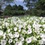 hibiscus_luna_white_2