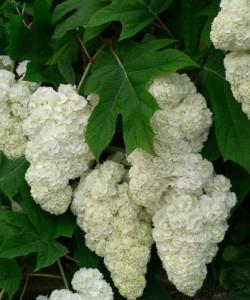 hydrangea-quercifolia-harmony_f