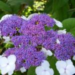 hydrangea_aspera_macrophylla
