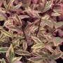 hypericum-x-moserianum-tricolor-01
