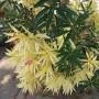 nerium_oleander9079mland