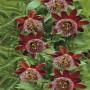 passiflora_alata