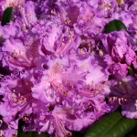 rhododendron-Alfred_rhododendron-hybride-Alfred