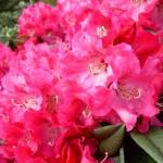 rhododendron-Berliner_liebe _rhododendron-hybride-Berliner_liebe