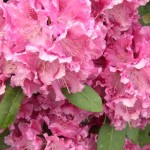 rhododendron-English_Roseum_rhododendron-hybride-English_Roseum