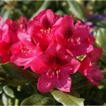 rhododendron-Nova-Zembla _rhododendron-hybride-Nova_Zembla