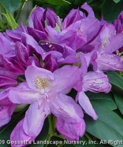 rhododendron-PURPAREA-GRANDIFLORIA _rhododendron-hybride-PURPAREA-GRANDIFLORIA