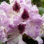 rhododendron-Rasputin_rhododendron-hybride-Rasputin
