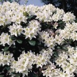 rhododendron-White_rhododendron-hybride-White