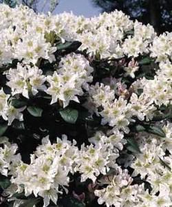 rhododendron-White_rhododendron-hybride-White