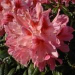 rhododendron-cosmopolitan_rhododendron-hybride-cosmopolitan1