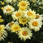 sgrwewerrwre02Нивяник leucanthemum goldfinch НОВИНКА 2013