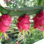 30-pitaya-v-kvetinaci11