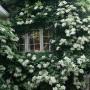Climbing-hydrangea-house