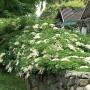 Climbing-hydrangea-stone-wall1