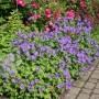 Geranium himalayense Plenum - герань махровая Пленум