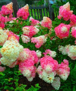 Hortensja bukietowa Hydrangea paniculata Vanille Fraise Renhy 10