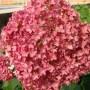 Hydrangea arborescence «Bella Anna» - гортензия древовидная «Bella Anna»