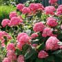 Hydrangea arborescenceINVINCIBELLE Spirit - Гортензия древовидная INVINCIBELLE Spirit2