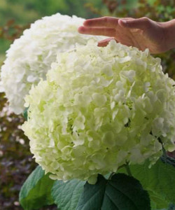 Hydrangea-arborescens-Incrediball