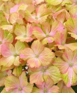 Hydrangea macrophylla Forever and Ever ®«Fantasia» - гортензия крупнолистная Forever and Ever® «Fantasia»