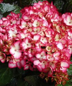 Hydrangea-macrophylla-Mirai