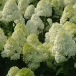 Hydrangea paniculata «Limelight»