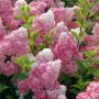 Hydrangea paniculata «Vanilla Fraise» (Renhy) - гортензия метельчатая «Vanilla Fraise» (Renhy)