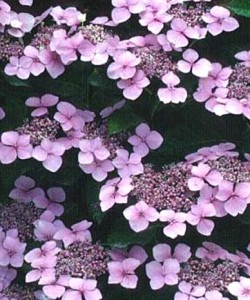 Hydrangea serrata  «Miyama-kuro-hime» - Гортензия пильчатая «Miyama-kuro-hime»