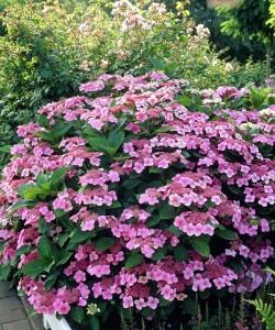 Hydrangea serrate « Isusai-jaku» - Гортензия пильчатая «Isusai-jaku».